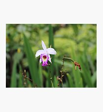 Pink and white wild orchid Photographic Print