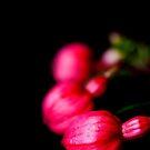Fuchsia Buds by Ellesscee