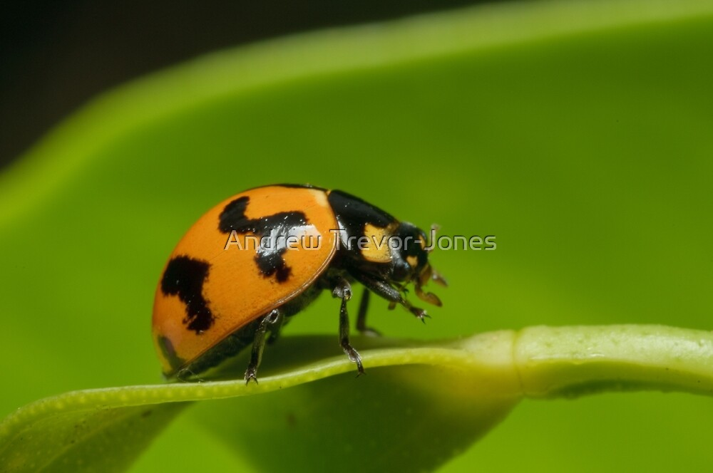 Transverse Ladybird - Coccinella transversalis by Andrew Trevor-Jones