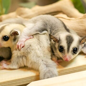 SUGAR GLIDER CUDDLES by CRYROLFE