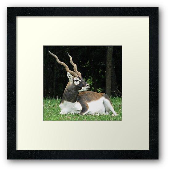 Male Black Buck Antelope by Ginny York