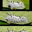 The Hickory Tussock Moth Caterpillar by DigitallyStill