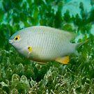 Coral Sea Gregory, Lord Howe Island by Erik Schlogl