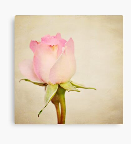 Single Baby Pink Rose Canvas Print