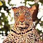 Leopard by cs-cookie