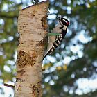 Downy Woodpecker by Diane Trummer Sullivan