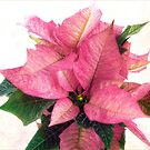 Pink Poinsettia Christmas Card by LouiseK