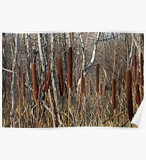 Cattails and Poplars  Poster