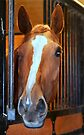 beautiful thoroughbred...  by Laurie Minor