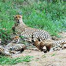 SIESTA IN KRUGER - THE CHEETAH -  Acinonyx jabatus – Die Jagluiperd by Magriet Meintjes