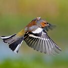 Chaffinch ~ In flight by M S Photography/Art