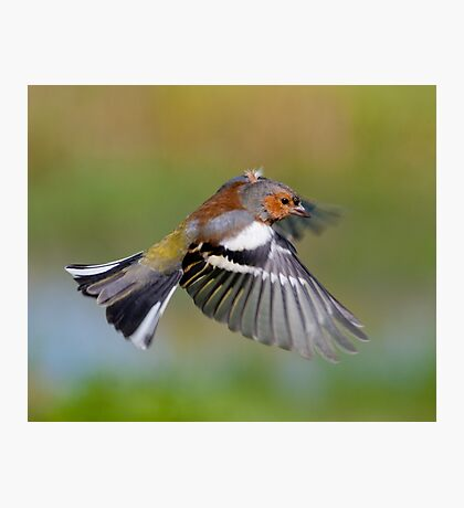 Chaffinch ~ In flight Photographic Print