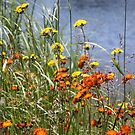 Orange and Yellow Hawkweed by Alyce Taylor