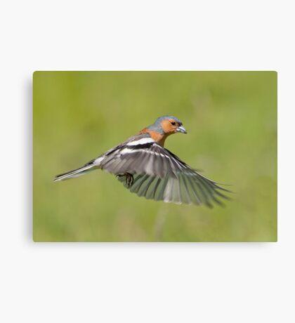 Chaffinch in flight Canvas Print