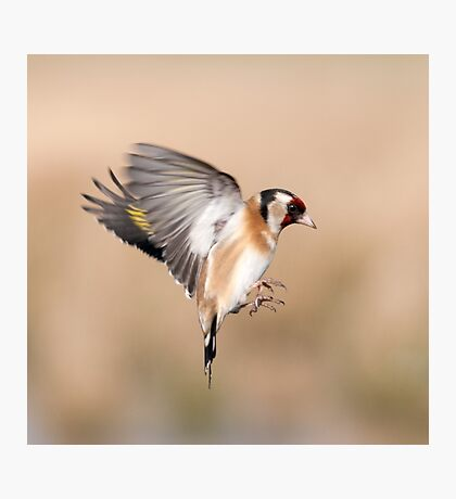 Goldfinch ~In flight Photographic Print