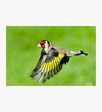 Goldfinch in flight Photographic Print