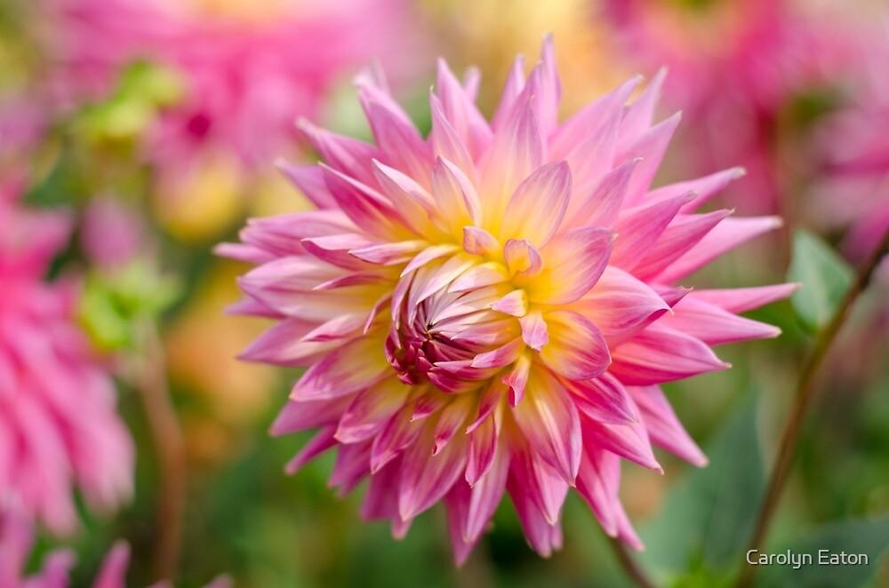 Pretty Dahlia by Carolyn Eaton