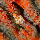 Egg Cowrie - Primovula rosewateri by Andrew Trevor-Jones