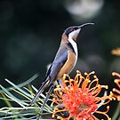 Eastern Spine Billed Honeyeater by jansimpressions