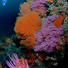 Oranges and Pinks Soft Corals by photosbyflood