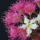 Brushbox Framed by Corymbia Ficifolia by Michael Matthews