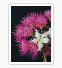 Brushbox Framed by Corymbia Ficifolia Sticker