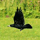 black crow in flight by sebmcnulty