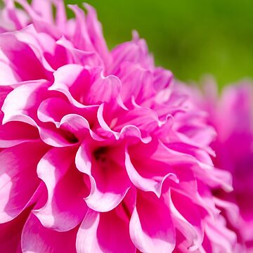 Pink Frilly Dahlia by CarolynEaton