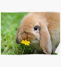 Curious Bunny Poster
