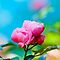 Rose or Roses with Blurred Background or Bokeh Background