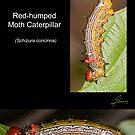 The Red-humped Moth Caterpillar by DigitallyStill
