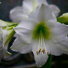 White Amaryllis by autumnwind