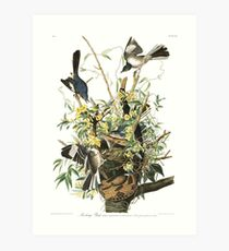 Mockingbird - John James Audubon Art Print