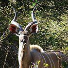 Kudu by Hermien Pellissier