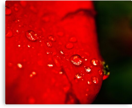dew on a rose by 60nine
