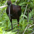 Glossy Ibis by SusanAdey