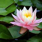 Water Lily by Bill Morgenstern