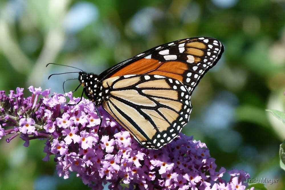 Magnificent Monarch by Trish Meyer