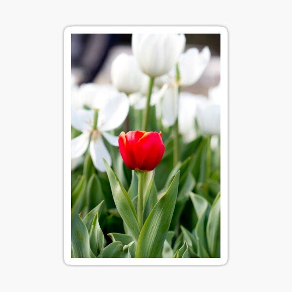 Single red tulip in a sea of white Sticker