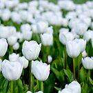 White tulips in a field by Karen Stevenson