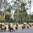 Suffolk Sheep Stampede by George Petrovsky