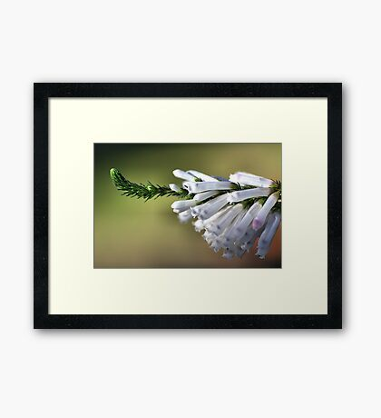 White Delight - Erica Framed Print