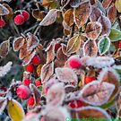 winter berries by bywhacky