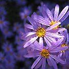 Purple Daisies by Heidi Schwandt Garner