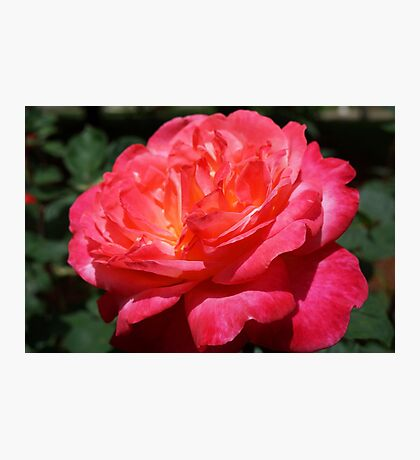 Big Red Pink Rose Flowers Art Prints Roses Photographic Print