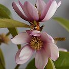 Miniature Magnolia .... by Sharon House