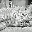 Maine Coon Cat by iszi