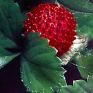 wild strawberry by lastgasp