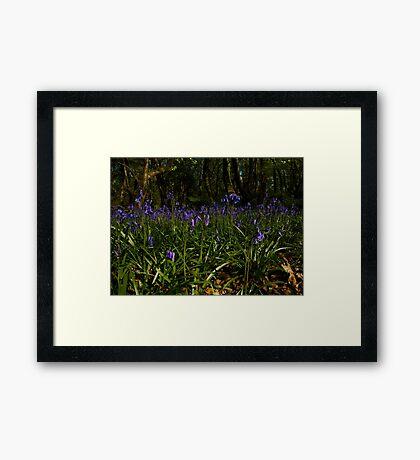 Bluebells in Prehen Woods Framed Print