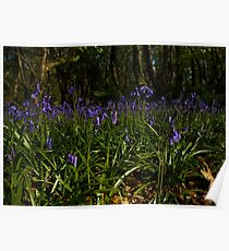 Bluebells in Prehen Woods Poster
